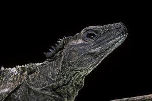 Hydrosaurus Weberi (Salfin Dragon) by Paul Starosta