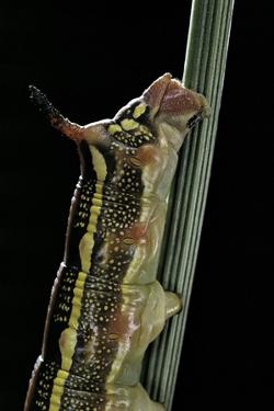 Hyles Lineata (White-Lined Sphinx, Hummingbird Moth) - Caterpillar Horn by Paul Starosta
