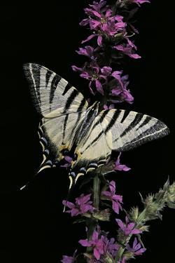 Iphiclides Podalirius (Scarce Swallowtail, Pear-Tree Swallowtail) by Paul Starosta