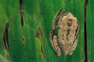 Leptopelis Brevirostris (Cameroon Forest Treefrog) by Paul Starosta