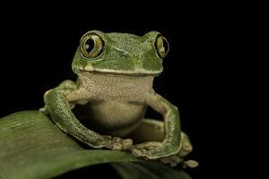 Leptopelis Sp. (Forest Treefrog ) by Paul Starosta