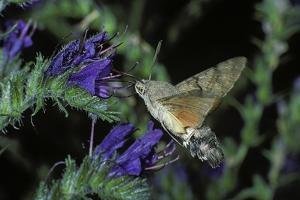 Macroglossum Stellatarum (Hummingbird Hawk-Moth) - Flying and Feeding on Flower Nectar by Paul Starosta