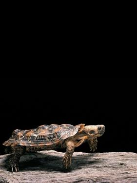 Malacochersus Tornieri (Pancake Tortoise) by Paul Starosta