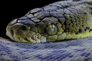 Malayopython Timoriensis (Timor Python) by Paul Starosta