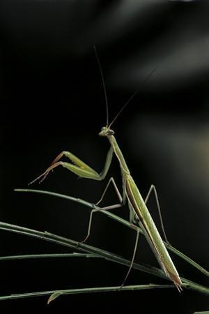 Mantis Religiosa (Praying Mantis) - Male by Paul Starosta
