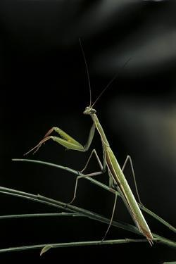 Mantis Religiosa (Praying Mantis) - Male by Paul Starosta