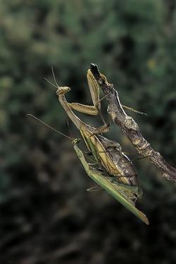 Mantis Religiosa (Praying Mantis) - Mating by Paul Starosta