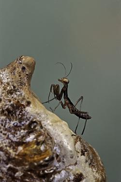 Mantis Religiosa (Praying Mantis) - Very Young Larva on its Egg Case by Paul Starosta