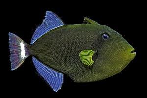 Melichthys Vidua (Pinktail Triggerfish, Pinktail Durgon) by Paul Starosta