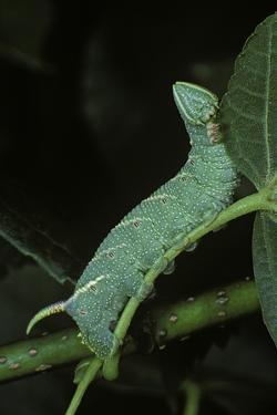 Mimas Tiliae (Lime Hawk Moth) - Caterpillar by Paul Starosta