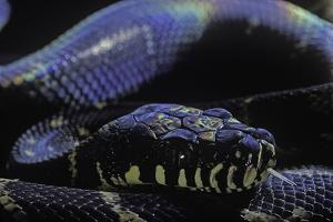 Morelia Boeleni (Black Python) by Paul Starosta