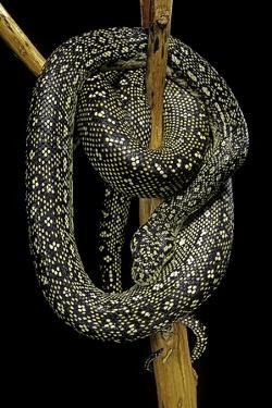 Morelia Spilota (Carpet Python) by Paul Starosta