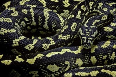 Morelia Spilota Cheynei (Jungle Carpet Python) by Paul Starosta