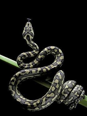 Morelia Spilota Variegata (North-Western Carpet Python) by Paul Starosta