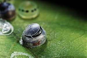 Morpho Peleides (Blue Morpho) - Caterpillar Hatching out of Egg by Paul Starosta