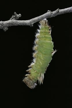 Morpho Peleides (Blue Morpho) - Caterpillar Pupating by Paul Starosta