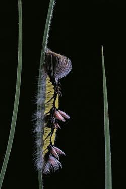 Morpho Peleides (Blue Morpho) - Caterpillar by Paul Starosta