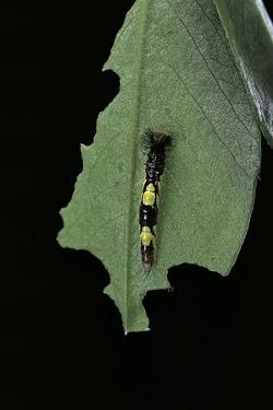 Morpho Peleides (Blue Morpho) - Young Caterpillar by Paul Starosta