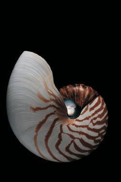 Nautilus Pompilius by Paul Starosta
