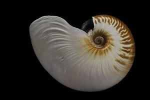 Nautilus Scrobiculatus by Paul Starosta