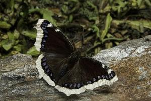 Nymphalis Antiopa (Mourning Cloak Butterfly, Camberwell Beauty) by Paul Starosta