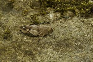 Oedipoda Caerulescens (Blue-Winged Grasshopper) by Paul Starosta
