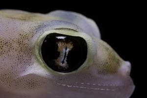 Palmatogecko Rangei (Namib Sand Gecko) - Eye by Paul Starosta