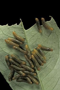 Papilio Anchisiades (Ruby-Spotted Swallowtail) - Caterpillars by Paul Starosta