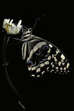 Papilio Demodocus (Citrus Swallowtail, Citrus Butterfly) by Paul Starosta