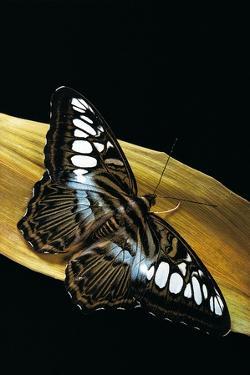 Parthenos Sylvia (Clipper Butterfly) by Paul Starosta