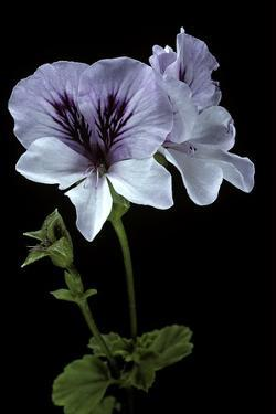 Pelargonium X Domesticum 'Mrs. G.H. Smith' (Regal Geranium) by Paul Starosta
