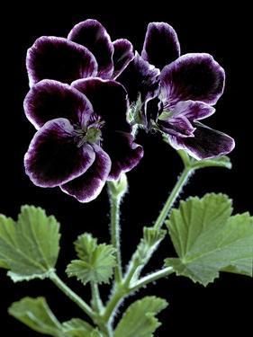 Pelargonium X Domesticum 'Sancho Pansa' (Regal Geranium) by Paul Starosta