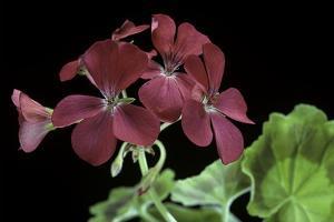 Pelargonium X Hortorum 'The Czar' (Common Geranium, Garden Geranium, Zonal Geranium) by Paul Starosta