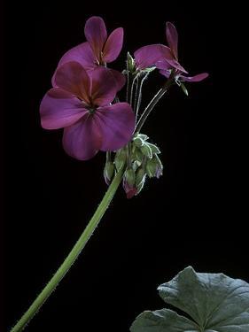 Pelargonium X Hortorum 'Wesfalen' (Common Geranium, Garden Geranium, Zonal Geranium) by Paul Starosta