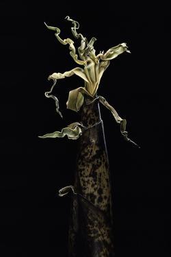 Phyllostachys Vivax (Running Giant Bamboo) - Shoot by Paul Starosta