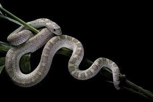 Pituophis Melanoleucus Mugitus (Pine Snake) by Paul Starosta