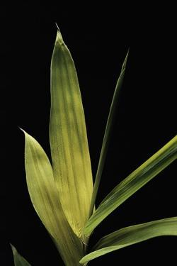 Pleioblastus Viridistriatus (Bamboo) - Leaf by Paul Starosta
