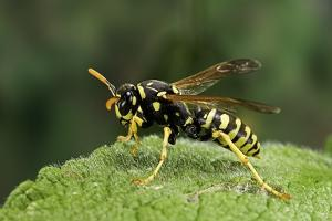 Polistes Dominula (European Paper Wasp) by Paul Starosta