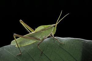 Prionolopha Serrata (Serrate Lubber Grasshopper) by Paul Starosta