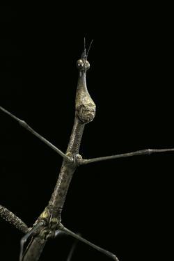 Proscopia Luceomaculata (Stick Grasshopper) by Paul Starosta