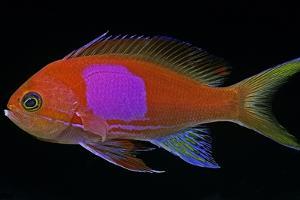 Pseudanthias Pleurotaenia (Squarespot Anthias, Pink Square Anthias) - Male by Paul Starosta