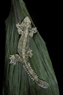 Ptychozoon Kuhli (Flying Gecko) by Paul Starosta