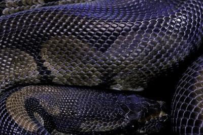Python Regius F. Melanistic (Royal Python, Ball Python) by Paul Starosta