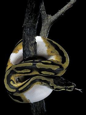 Python Regius F. Piebald (Royal Python, Ball Python) by Paul Starosta