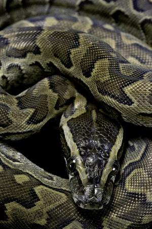 Python Sebae (African Rock Python) by Paul Starosta