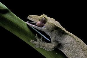 Rhacodactylus Ciliatus (Eyelash Gecko) - Cleaning its Eye by Paul Starosta