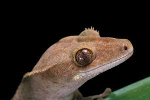 Rhacodactylus Ciliatus (Eyelash Gecko) by Paul Starosta