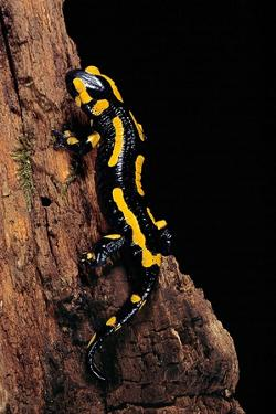 Salamandra Salamandra Terrestris (Fire Salamander) by Paul Starosta