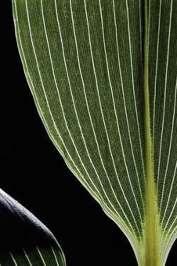 Sasa Kurilensis (Bamboo) - Leaf by Paul Starosta