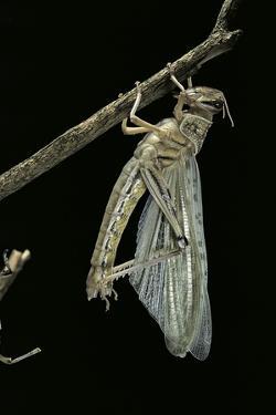 Schistocerca Gregaria (Desert Locust) - Emerging by Paul Starosta